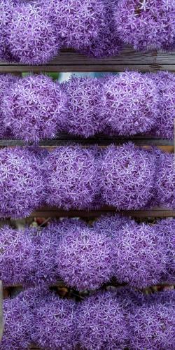 Allium-sierui 1