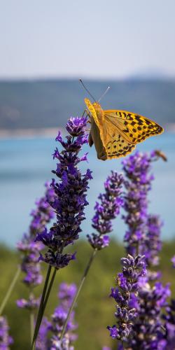 Vlinder en lavendel 1