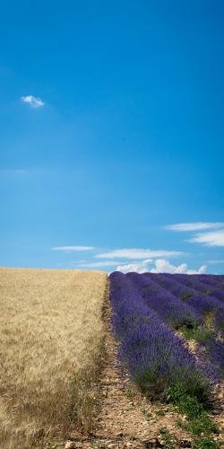 Lavendel en tarwe
