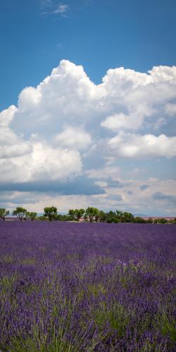 Lavendel en salie 2