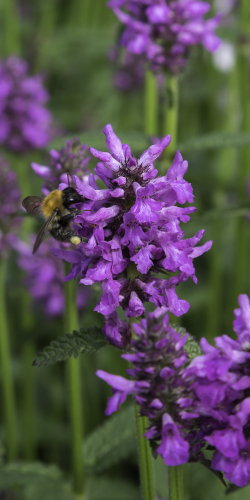 Lavendel met bij 1