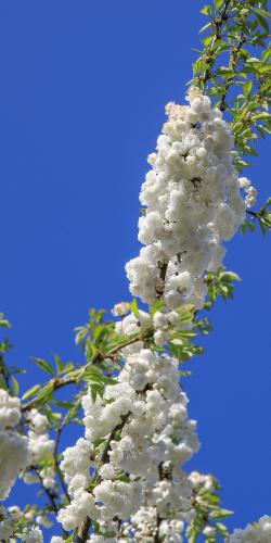 Witte bloesem in voorjaar