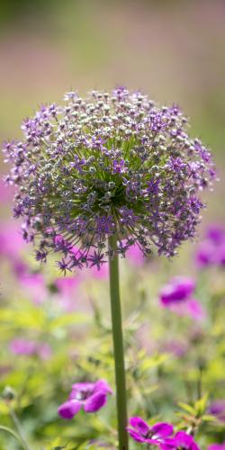 Allium-sierui 4