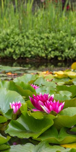 Waterlelie in vijver