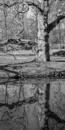 Oude boom aan water