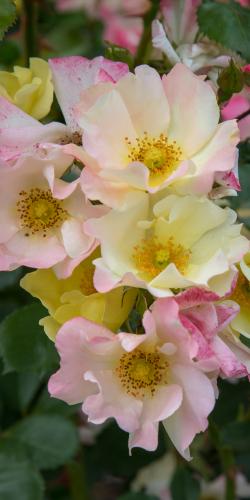 Roos geel-roze