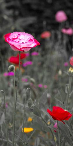 Rode klaproos tussen veldbloemen