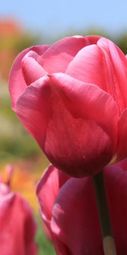 Tulp rood