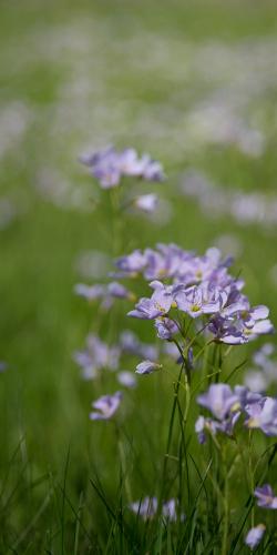 Paarse veldbloemen
