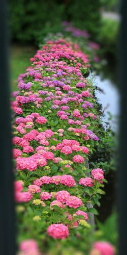 Hortensiahaag