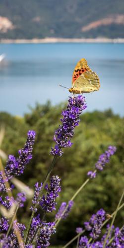 Vlinder en lavendel 2