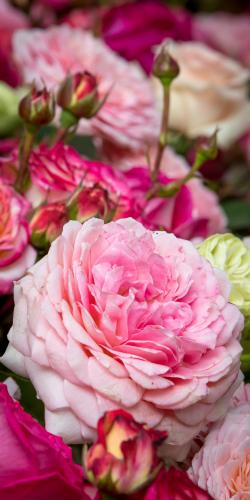 Pompoen rozen 2