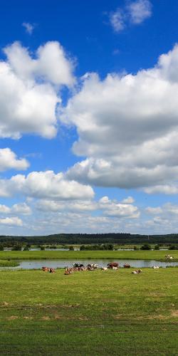 Koeien langs rivier
