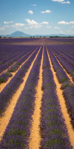 Lavendel met bergen 5