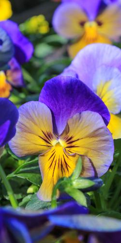 Paars gele viooltje