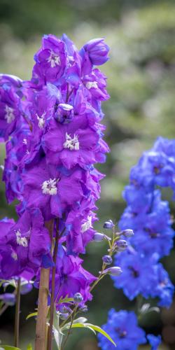 Ridderspoor paars-blauw
