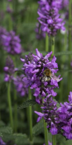 Lavendel met bij