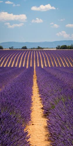 Lavendel met bergen 4