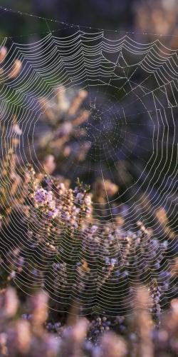 Spinnenweb in heide