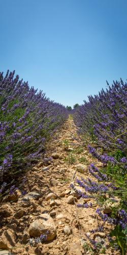 Lavendel haag