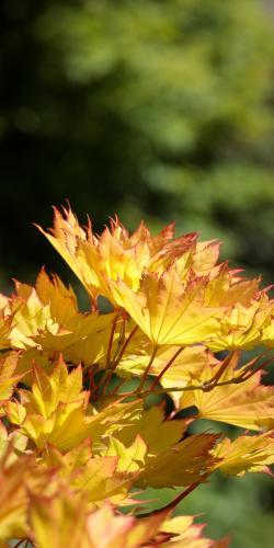 Esdoorn in herfst