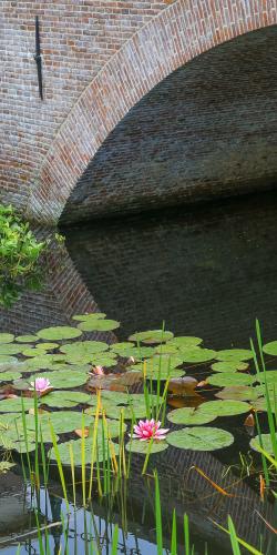 Waterlelie bij brug
