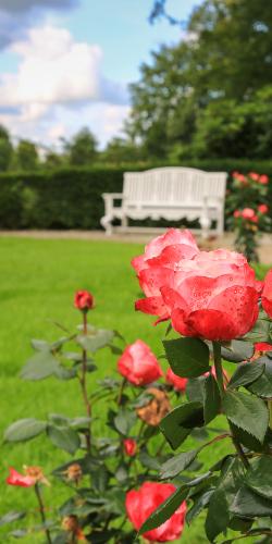Rode roos met bankje