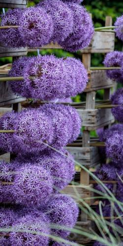 Allium-sierui 2