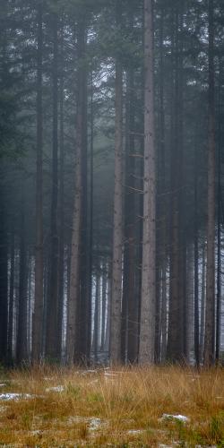 Naaldbos in mist