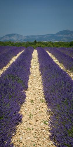 Lavendel met bergen 2