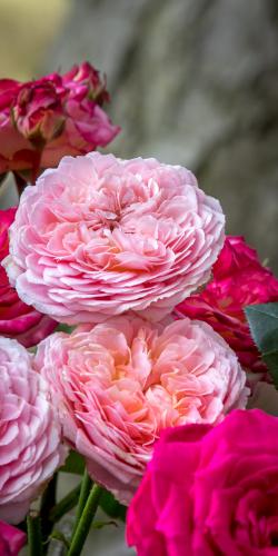 Pompoen rozen roze-rood