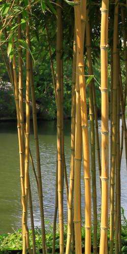 Bamboe langs water