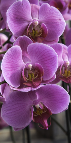 Orchidee paars