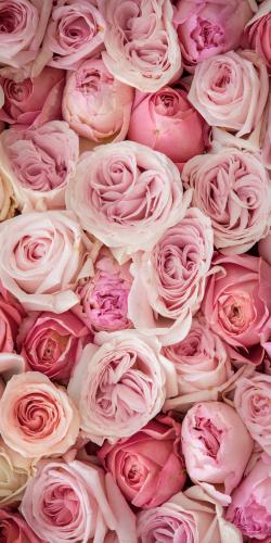 Rozen palet roze