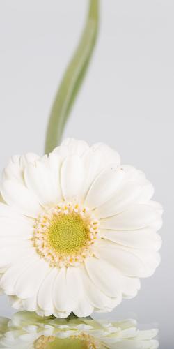 Gerbera wit