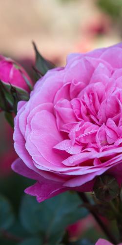 Roze roos 1