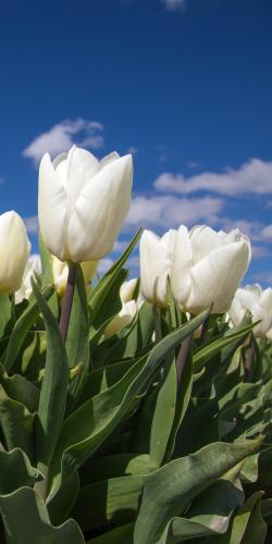 Tulpen wit