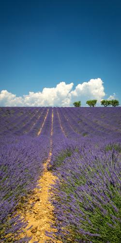 Lavendel met bomen 2