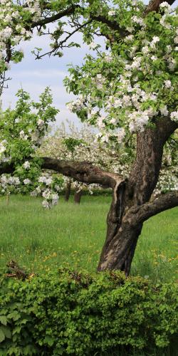 Bloesem appelboom 01