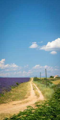 Weg langs lavendelveld