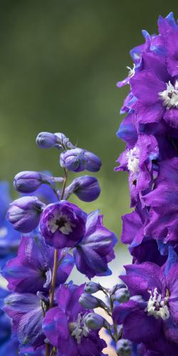 Ridderspoor paars
