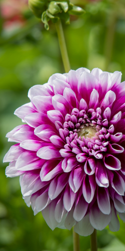 Dahlia wit-paars
