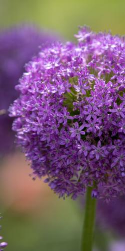 Allium-sierui 3