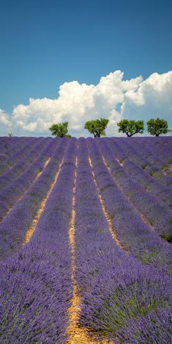 Lavendel met bomen