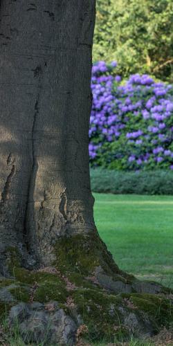 Beuk en rhododendron