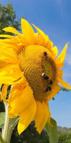 Zonnebloem met bijen
