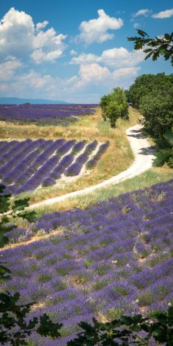 Weg door lavendelveld