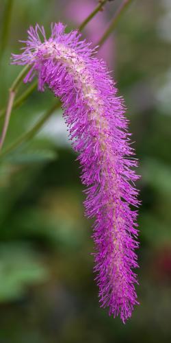 Lilac Squirrel
