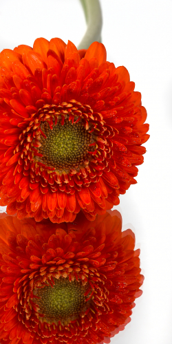 Gerbera oranje 2