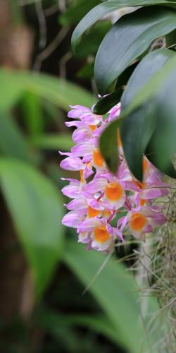 Orchidee achtigen
